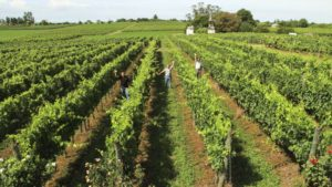 Pisano uruguajske vino Tannat